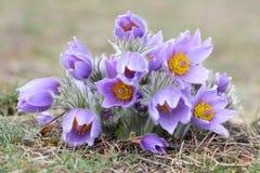 Pasque wild flowers Royalty Free Stock Photo