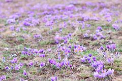 Pasque Wild Flowers Stock Images