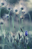 Pasque wild flowers Royalty Free Stock Photography