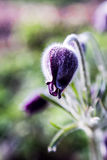 Pasquebloem in de lentetuin stock afbeeldingen