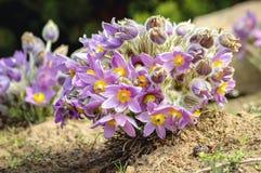 Pasquebloemen in tuin royalty-vrije stock afbeelding