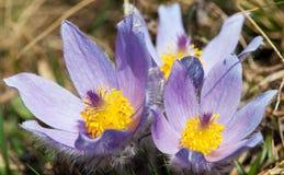 pasqueflower美丽的蓝色花在草甸的 库存照片