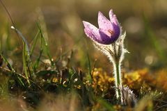 Pasqueflower στο αντίθετο φως Στοκ εικόνες με δικαίωμα ελεύθερης χρήσης
