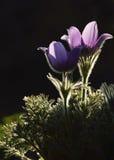 Pasqueflower στο λυκόφως Στοκ εικόνες με δικαίωμα ελεύθερης χρήσης