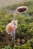 Pasqueflower весны Стоковая Фотография
