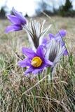 pasqueflower Στοκ Φωτογραφίες