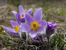 Pasqueflower Royaltyfria Foton