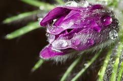 Pasqueflower Fotografía de archivo