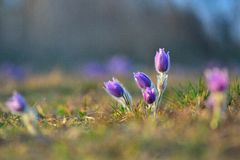 Pasqueflower Immagine Stock