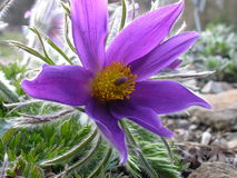 Pasqueflower Immagini Stock