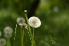 Pasqueflower Στοκ φωτογραφία με δικαίωμα ελεύθερης χρήσης