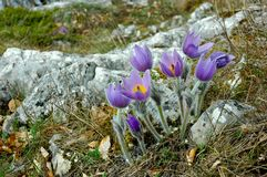 Pasqueflower. Wildflower in mountains, spring Royalty Free Stock Image