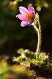 Pasqueflower agradable de la floración Fotos de archivo libres de regalías