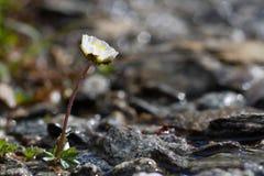 Pasqueflower alpino - alpina del Pulsatilla Fotografia Stock Libera da Diritti