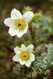 Pasqueflower alpino o anemone alpino, alpina del Pulsatilla, pianta selvatica bianca, due fioriture, nell'habitat della natura, m Fotografia Stock Libera da Diritti
