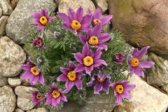 Pasqueflower Stock Photo