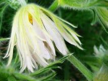Pasqueflower blanco Imagenes de archivo
