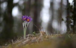 Pasqueflower bonito e raro selvagem fotos de stock