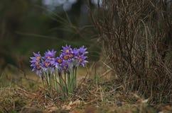 Pasqueflower bonito e raro selvagem imagem de stock royalty free