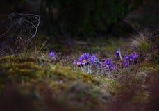 Pasqueflower bonito e raro selvagem imagens de stock royalty free