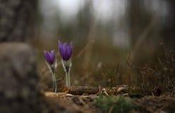 Pasqueflower bonito e raro selvagem imagem de stock