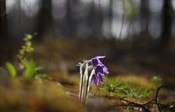 Pasqueflower bonito e raro selvagem fotografia de stock