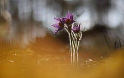 Pasqueflower bonito e raro selvagem imagens de stock
