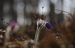 Pasqueflower bonito e raro selvagem fotografia de stock royalty free