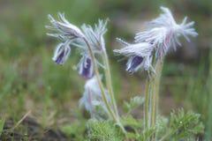 Pasqueflower, das beginnt zu blühen Lizenzfreie Stockfotografie