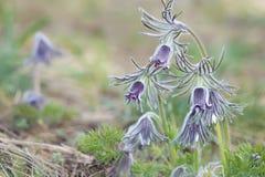 Pasqueflower in der frühen Blüte Lizenzfreie Stockbilder