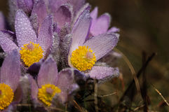 Pasqueflower - early spring flower Stock Image