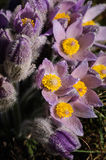 Pasqueflower - early spring flower Royalty Free Stock Photos