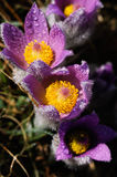 Pasqueflower - early spring flower Stock Photography