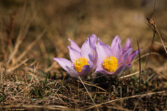 Pasqueflower - early spring flower Royalty Free Stock Photo
