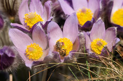 Pasqueflower - early spring flower Royalty Free Stock Image