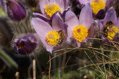 Pasqueflower - early spring flower Stock Photos
