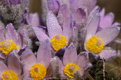 Pasqueflower - early spring flower Stock Images