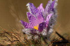 Pasqueflower - early spring flower Royalty Free Stock Images