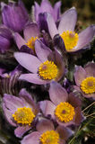 Pasqueflower - early spring flower Royalty Free Stock Photography