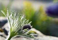 Pasqueflower flower buds Stock Photography
