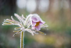Pasqueflower. In the forest in spring Stock Photos