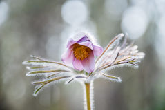 Pasqueflower. In the forest in spring Stock Photo