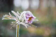 Pasqueflower in the forest Royalty Free Stock Images