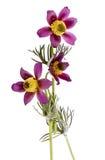 Pasqueflower isolated on white backg. Pasque flower, bot.: Pulsatilla vulgaris, isolated on white background stock photo