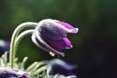 Pasqueflower kwiat Fotografia Royalty Free