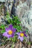 Pasqueflower lub trawy Pulsatilla pateny zdjęcie royalty free