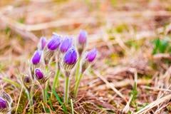 Pasqueflower novo selvagem na mola adiantada Flores Imagem de Stock Royalty Free