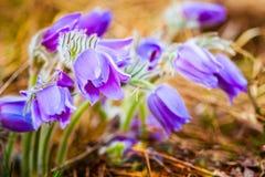 Pasqueflower novo selvagem na mola adiantada Pancadinha do Pulsatilla das flores Fotografia de Stock Royalty Free