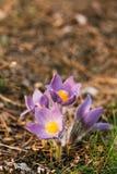 Pasqueflower novo selvagem na mola adiantada Pancadinha do Pulsatilla das flores Foto de Stock