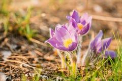 Pasqueflower novo selvagem na mola adiantada Pancadinha do Pulsatilla das flores Imagens de Stock Royalty Free